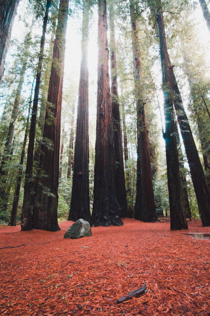 Giant redwood trees at redwood national forest California