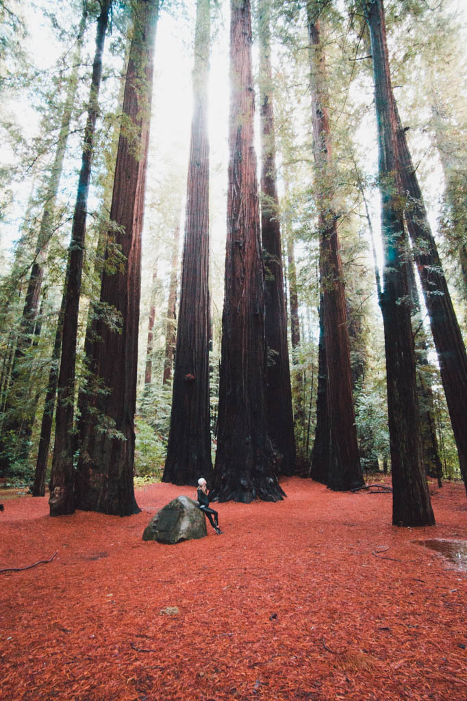 Redwood Trees at Redwood forest California