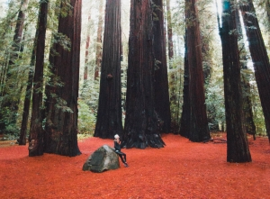 giant redwood trees in California feature
