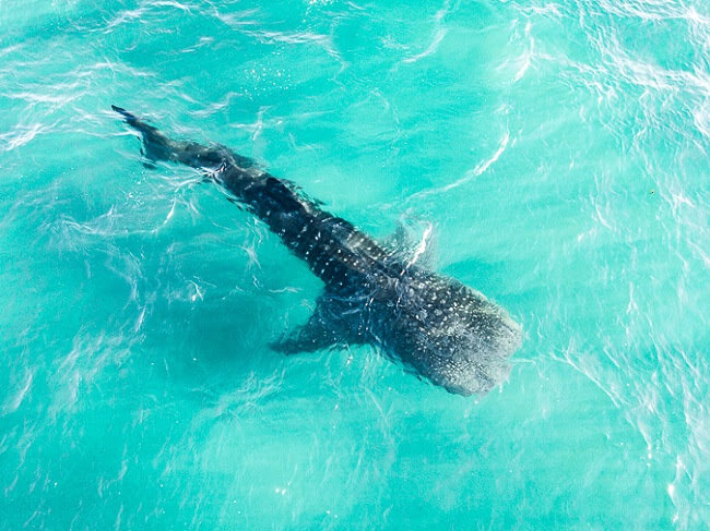 baja california el mogote la paz whale shark