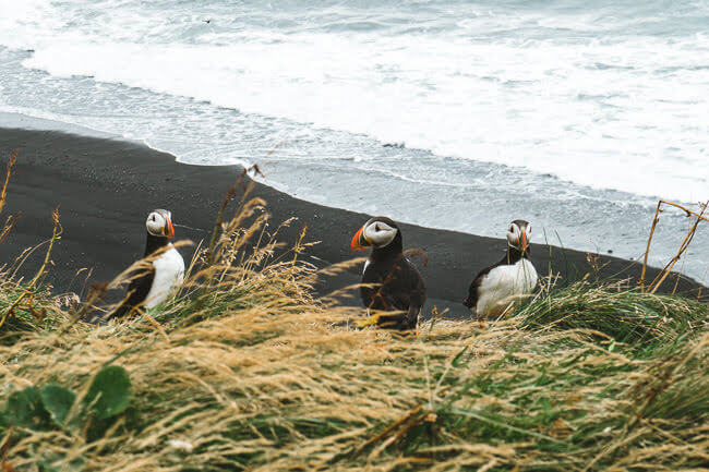 Kirkjufjara Black sand Beach iceland puffins