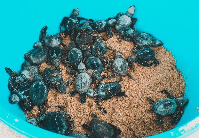 Tortugueros Las Playitas turtle rescue baja california mexico